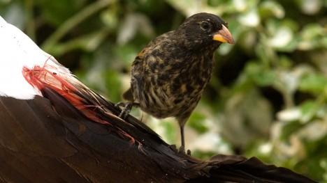 Pěnkavka ostrozobá Tento malý ptáček váží jen okolo 20 gramů a že jde o upíra by do něj nikdo na první pohled neřekl. Přesto mezi tyto tvory patří. Žije na Galapágách, ostrovech, kde se prakticky nevyskytují zdroje pitné vody. Pěnkavy proto tekutiny získávají jinak. Útočí na spící mořské ptáky a ostrým zobákem jim poraní kůži v místech, kde začíná růst peří. Z ranky pak pijí krev své oběti.