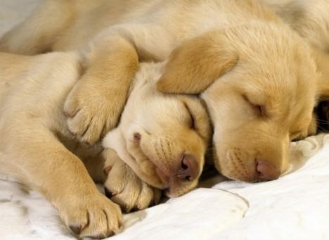 perros-dormidos