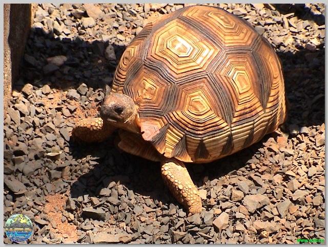 Želvy zatahují svůj krk různým způsobem.