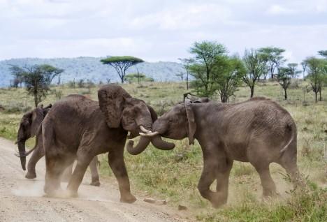 Elephants jousting in the serengeti