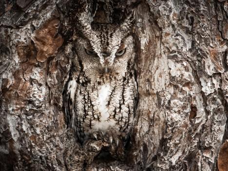 1. Sovy: Soví peří má bravurní maskování, které jim přes den dovolí splynout prakticky s jakoukoliv texturou. Vypadá někdy jako kámen či třeba kůra stromu. Jejich peří má navíc schopnost nabýt na objemu anebo ve vteřině zeštíhlet o několik centimetrů. Vyplní tak prostor v puklině stromu i díru ve skále, jejich zbarvení pak dokonalost maskování dovrší.
