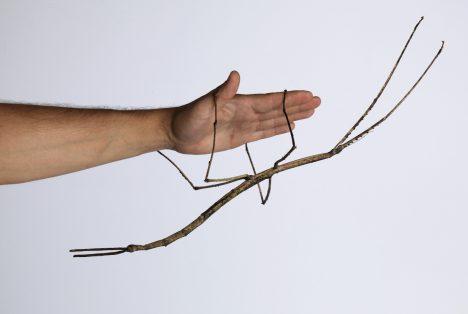 Strašilky jsou poměrně známým druhem hmyzu, který si lidé často chovají idoma. Takto obří jedince ale najdeme jen vtropických oblastech Asie. Například ve Vietnamu, kde objevil dva nové druhy tohoto hmyzu tým belgických biologů. Ten snázvem Phryganistria heusii yentuensis je vsoučasnosti druhým největším zástupcem hmyzu na planetě.