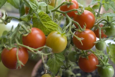 tomato-377106_960_720