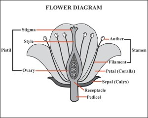 FLOWER DIAGRAM  Unmasa Dalha