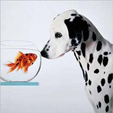 Dalmatian dog looking at dalmatian fish