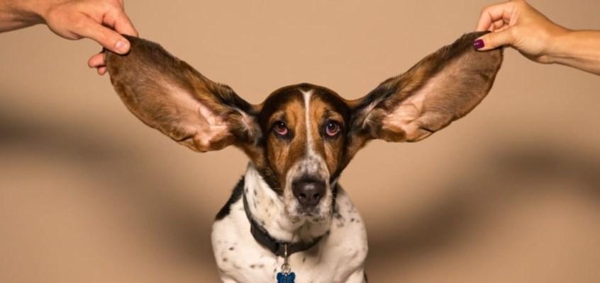 Pulizia delle orecchie dei nostri animali domestici