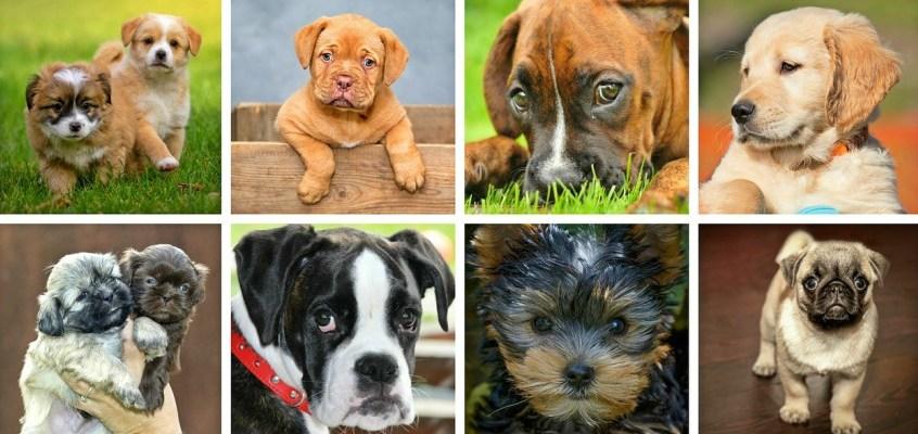 Comprare un cane di razza: ciò che bisogna sapere