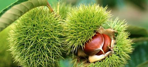 Άννα Μάνη: Ρύθμιση ανάσα για τους καστανοπαραγωγούς της Σκοτίνας – Δεκτή η σταδιακή καταβολή ανταλλάγματος χρήσης