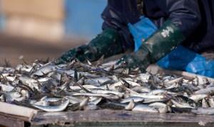 sardine poisson pêche marin pêcherie trier bretagne marin mer port