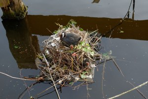 Moorhen nest and plastic pollution