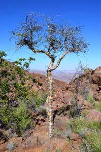 Commiphora discolor