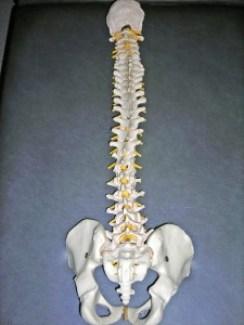 vertebral-column-213204_1280 (1)