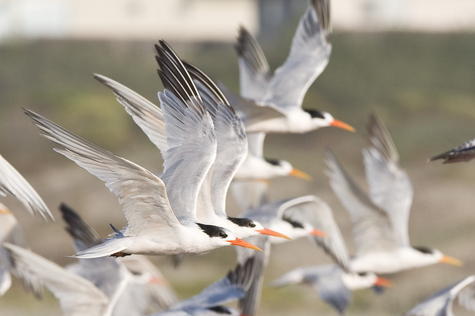 tern flock_Mike Baird_flickr.jpg