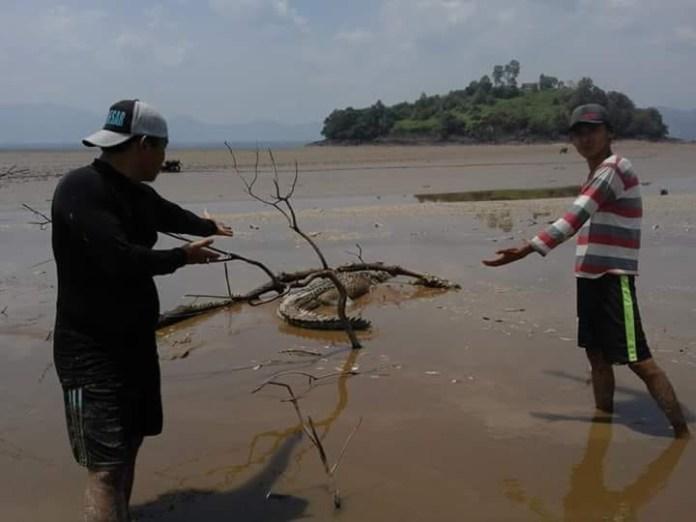 BUAYA. Tampak seekor buaya Sinyulong terjebak di bawah batang dan kubangan lumpur di Danau Sentarum surut, tepatnya daerah Pulau Melayu Kecamatan Batang Lupar (Lanjak) Minggu (19/8). Warga for RK