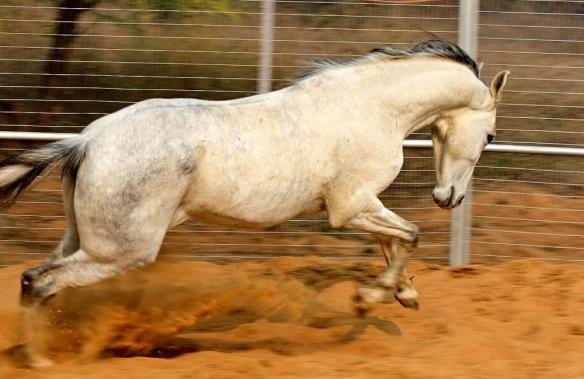 Marwari horse running in round pen
