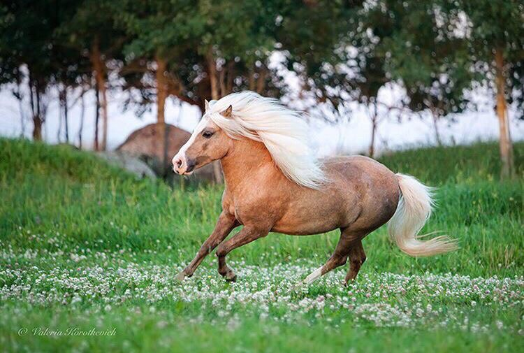 A pony in Russia cantering in a field.