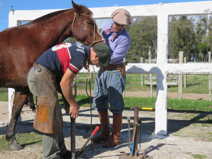 Taking the shoes off a Criollo Horse before concentration for a Marcha competition