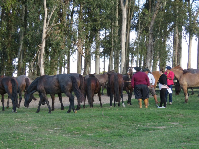 A vet check for Criollo horses as prparation for the Marcha competition in Brazil