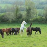 A semi-wild herd of horses in Ireland with two horses fighting and rearing