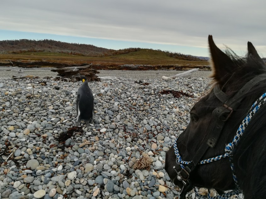 A sole penguin is seen on the shores of Mitre Peninsula from horseback while riding in Argentina