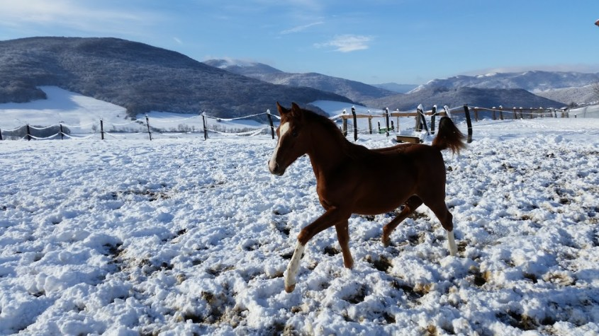 Living with horses in Spain: young gelding Matty is trotting through the snow