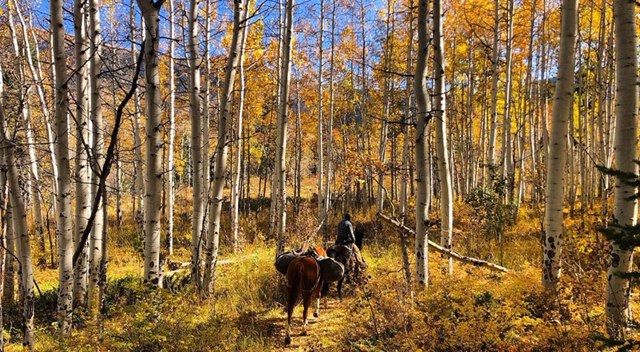 Pack trip with horses through aspen forest in Colorado