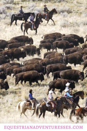 Riders are driving bison to the winter holding pens on Antelope Island, Utah