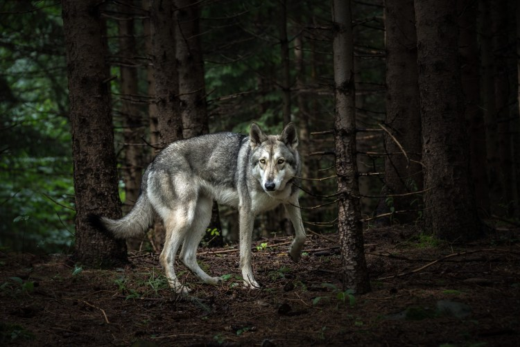 A wolf dog, who is accompanying the tour group in Slovenia