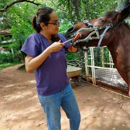 A female horse dentist is practicing equine dental care in India