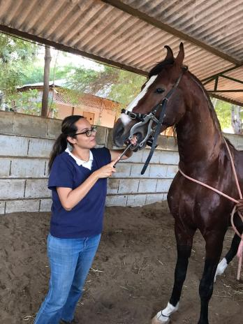 Akruti is filing down the teeth of a Marwari horse