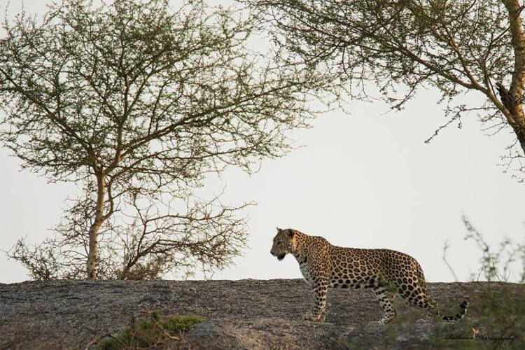 A leopard which was stopped during a horse riding adventure in India