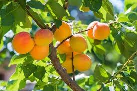 Abricots de Nyons