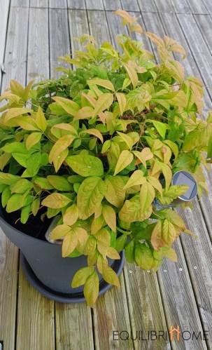Amenager-sa-terrase-plantes-nandina-domestica