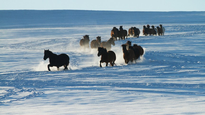 Huzuls herd trotting through the snow in Bieszczady mountains