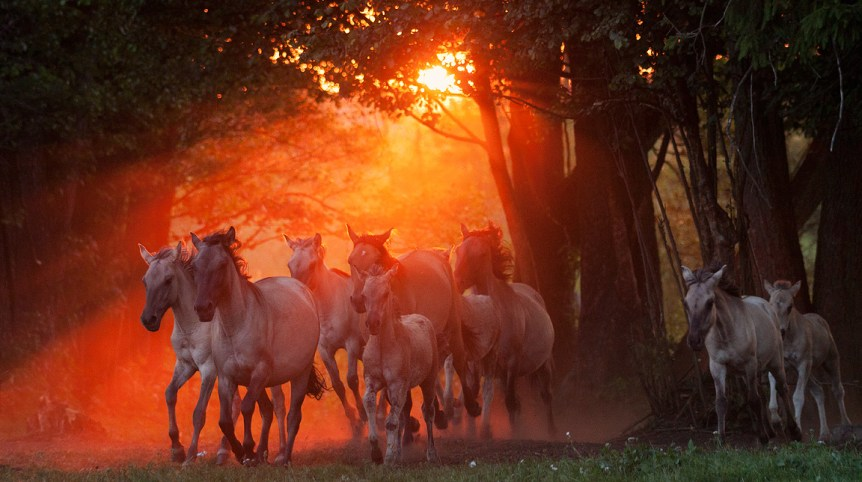 Herd of Konik Polski horses galloping in summer at sunset against trees