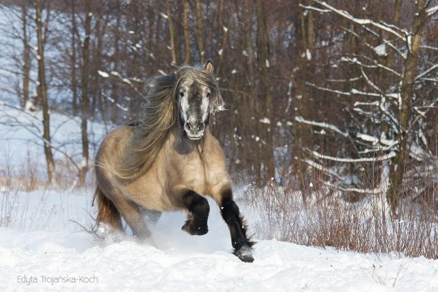 Highland Pony gelding galloping through the snow in winter scenery against forest