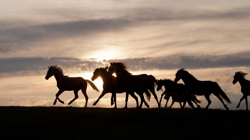 Stado kuców walijskich galopujące o zachodzie słońca na tle nieba equine photography zdjęcia koni