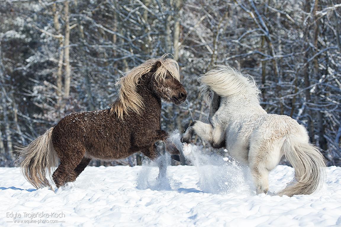 Ogiery kuców walczące zimą na śniegu