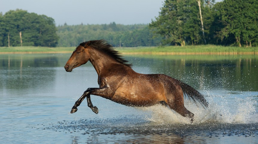 Trakehner bay mare galloping through the water in summer
