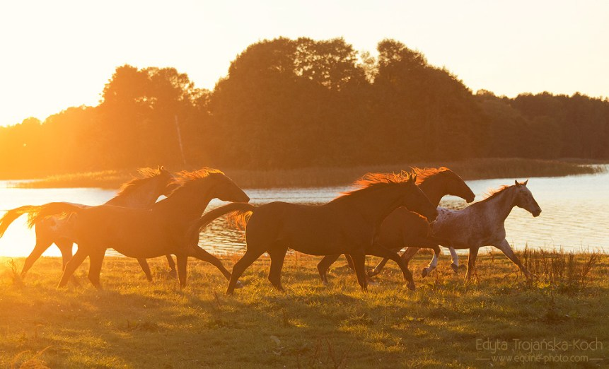 Herd of horses galloping at sunset by the lake