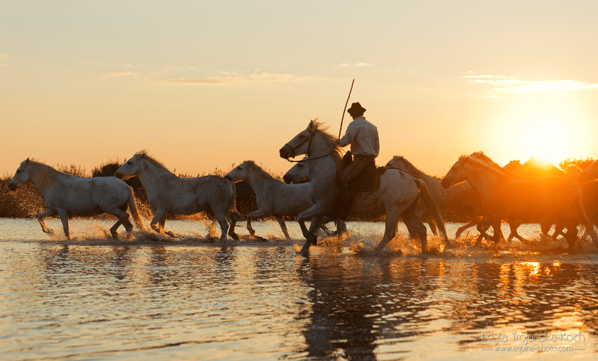 Herd of horses with rider in Camargue at sunset