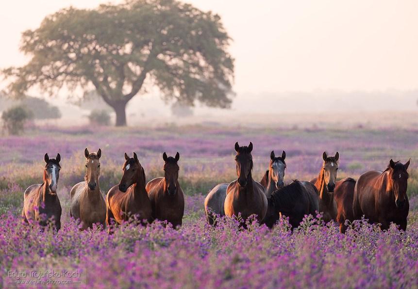 Stado koni lusitano na kwitnącej łące