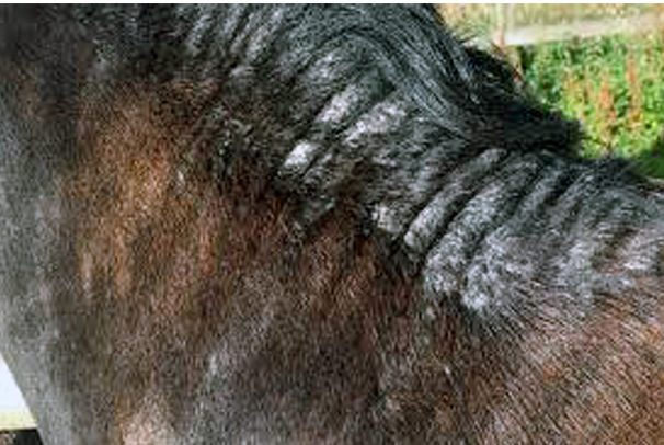 Treating Sweet Itch In Horses