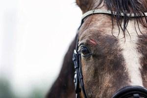Horse wound requiring first aid