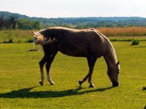 Equine Challenge Laminae 911