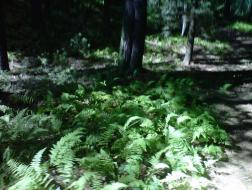 The sun lit up the ferns in the woods turning them an irridenscent green.