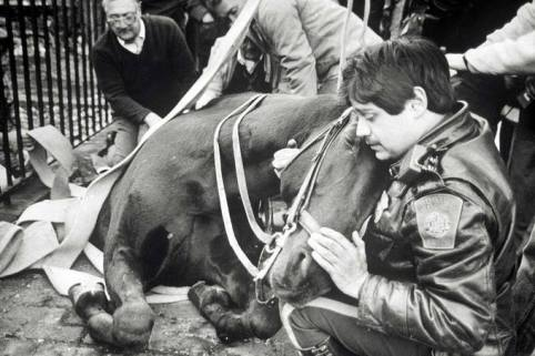 "The Story Behind the Photo: Nearly 25 years ago, Police Officer Frank Pomodoro found himself comforting his partner and police horse, Fritz, who had fallen into a sidewalk construction hole that had been covered over by a steel plate just outside the old District D-4 station which, at the time, was located in the area of Berkeley Street and Warren Ave. Pomodoro was inside the station when someone came running in and told him that his horse had fallen into a hole. When Pomodoro got outside, he immediately feared the worst. A broken leg and he knew that his partner of three years would have to be put down. In fact, according to Pomodoro, the one question he hears more often than any other when people reference the picture of his horse in the hole is whether or not Fritz survived the fall. In response to that question, Pomodoro gratefully offers the following, ""He was back to work in three weeks and, luckily, he only suffered a cut to one of his front legs."" The enclosed photo was taken on October 31, 1989 and Frank remembers the day like it was yesterday. ""I remember it was Halloween because I had to call my wife and tell her that I wasn't gonna be home in time to give out the candy,"" said Pomodoro. Reflecting back on that day, Pomodoro says a number of things still stick out and have stayed with him to this day. ""The compassion of people on that day is one of the things I'll never forget. It was really amazing. Perfect strangers and even one guy I had locked up came running over to help Fritz."" Pomodoro says the help provided by perfect strangers was especially evident when the Fire Department arrived on scene and secured a rope around Fritz because there was some concern that the horse might slip or slide deeper into the hole. Pomodoro recalls, ""The rope fastened around Fritz stretched across the street and I remember there were somewhere between 15 to 20 people grabbing a hold of the rope to make sure Fritz stayed put. The compassion of perfect strangers was unbelievable."" However, the challenge of extricating an almost 1500 pound horse from a hole would require something a whole lot stronger and more substantial than a rope fastened around the horse's midsection. ""We needed a crane,"" said Pomodoro. And, as luck would have it, Shaugnessy & Ahearn, a local rigging company, had a crane job going on just around the corner. Said Pomodoro, ""We went up the street and told them what was going on and the crane came down and pulled Fritz out."" Pomodoro continues, ""My mother was so grateful, she sent a fruit basket to Mr. Shaugnessy, the owner of the company, thanking him for what they did for Fritz."" These days, Pomodoro is a detective assigned to the Domestic Violence Unit. He's got a few more years to go before he can retire and, although he's certainly seen the best and the worst of people during his almost 30 year career, Pomodoro says nothing compares to the kindness and compassion he witnessed firsthand nearly 25 years ago. ""I met a lot of really great people that day and, to this day, I have nothing but gratitude to those who came over to help Fritzie. I'll never forget them."""