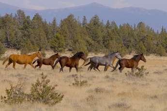 Horses on Modoc plateau