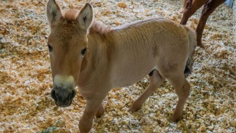 Kurt, the Cloned Przewalski's Horse