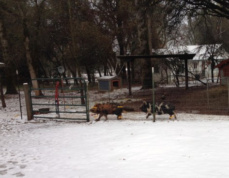 Pigs in snow